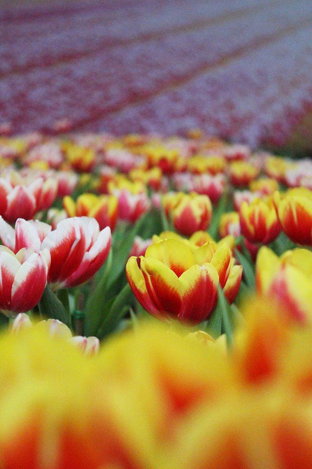 tulip-16