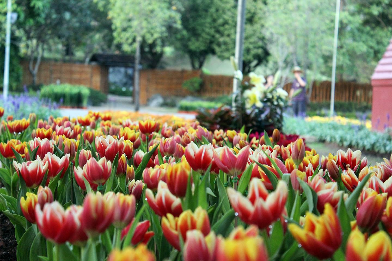 tulip-17