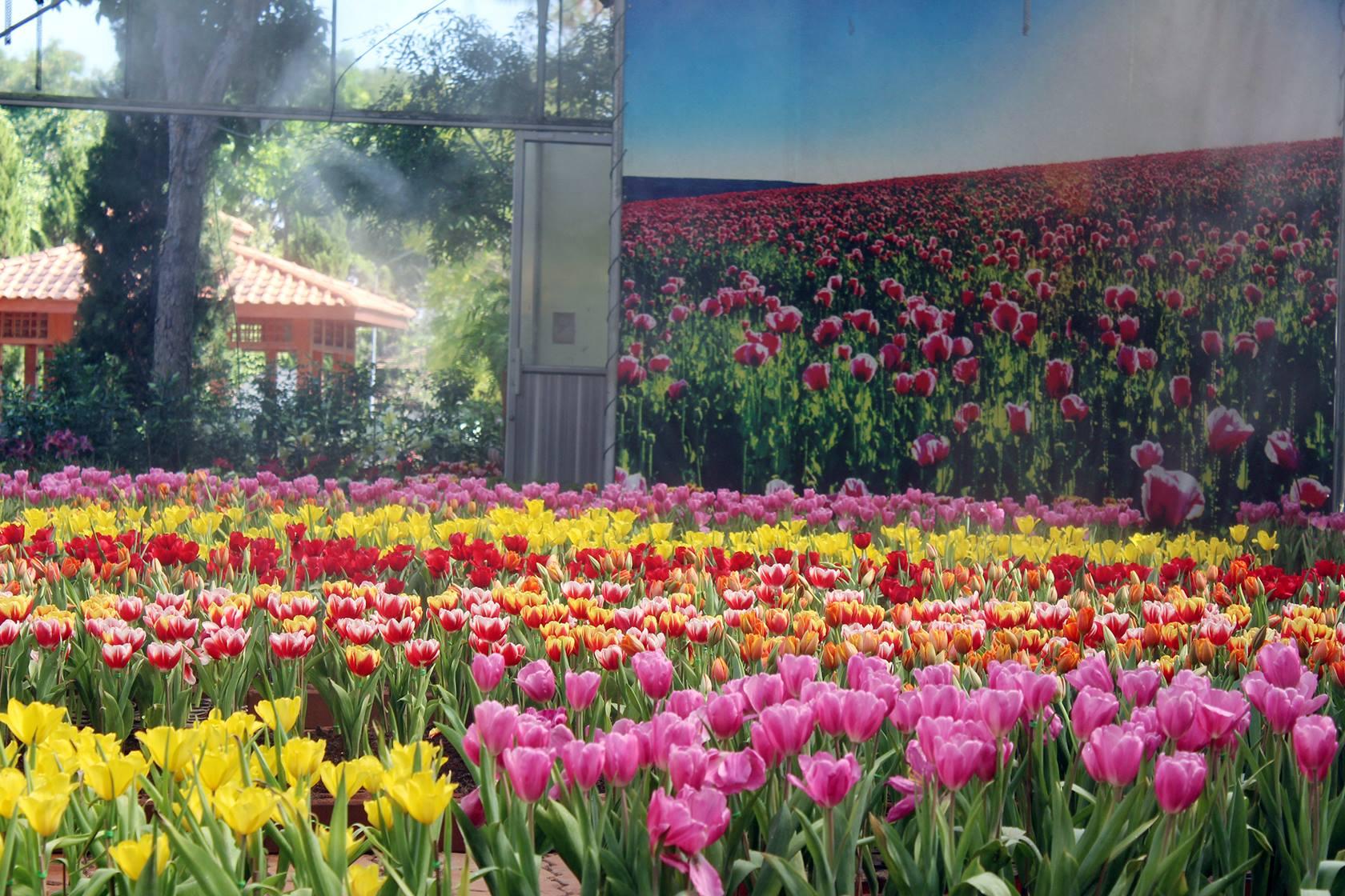tulip-19